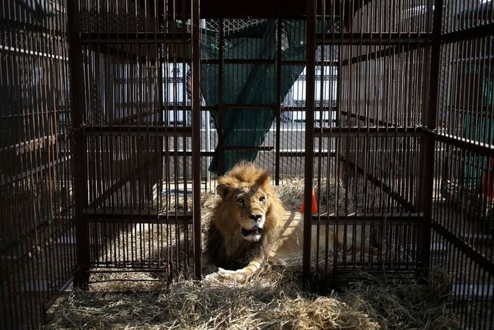 33 circus lions have been sent back home.