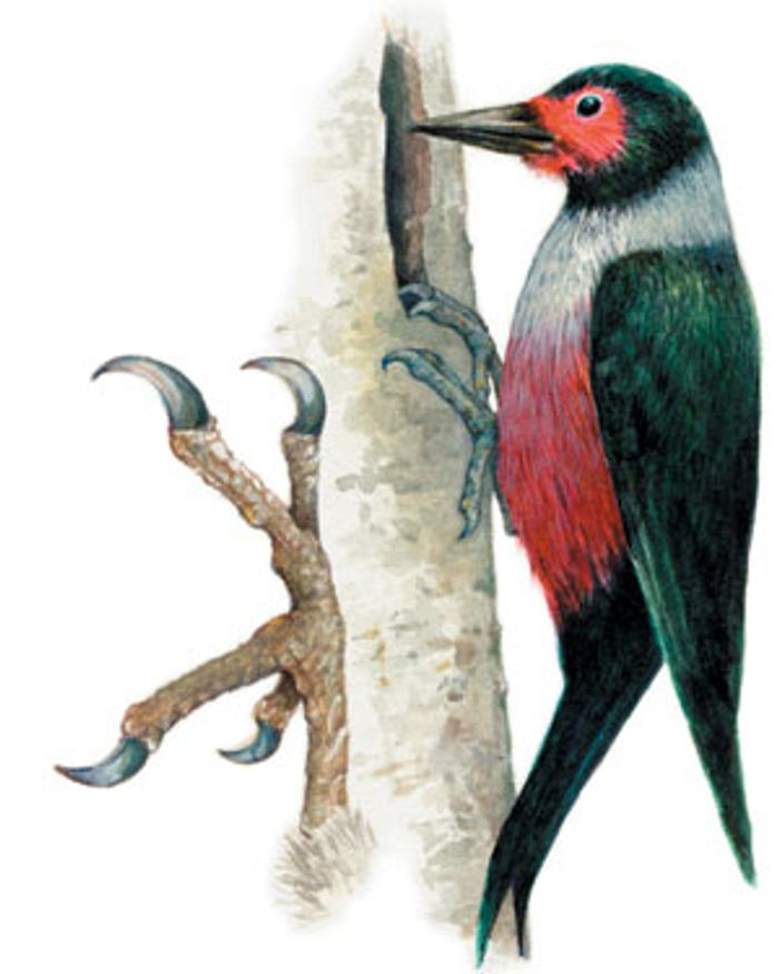 The orientation of woodpeckers' toes helps them to exert high forces