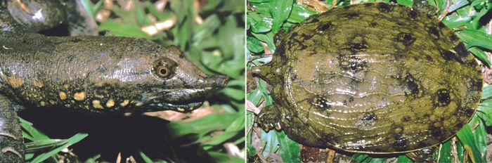 A look at the newly-discovered turtle.