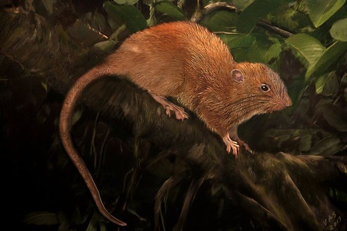 The Vika was the largest rat on the Solomon Islands. Although researchers have never seen one in person, their luck changed in 2015.