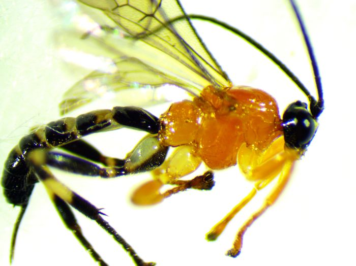 A newly-discovered species of parasitoid wasp.