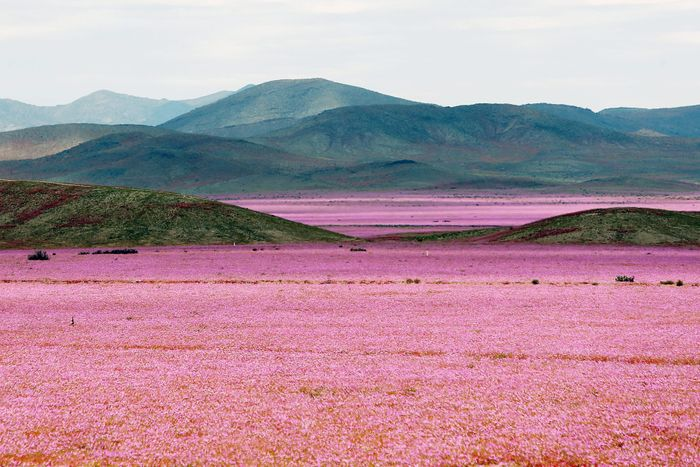 The usually dry Atacama Desert is currently covered in pink flowers.