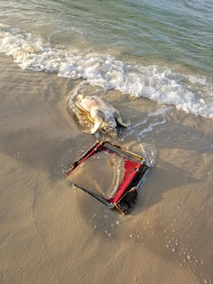 This deceased sea turtle was discovered with a string from a beach chair wrapped around its neck.