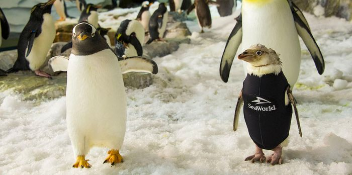 Wonder Twin, a penguin at SeaWorld Orlando, is experiencing feather loss and has been given a wetsuit to stay warm.