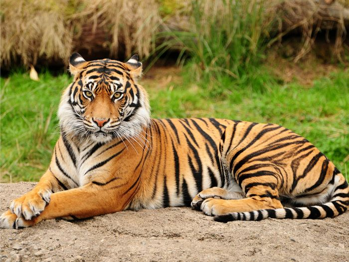 Tiger populations around the world are lower than we want them to be, but new tactics could double population by 2022.
