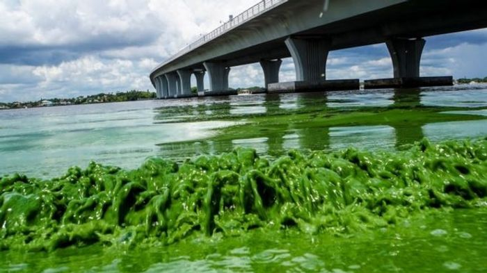 """Algae blooms along the Sewell""""s Point shore on the St. Lucie River under. Photo: BBC"""
