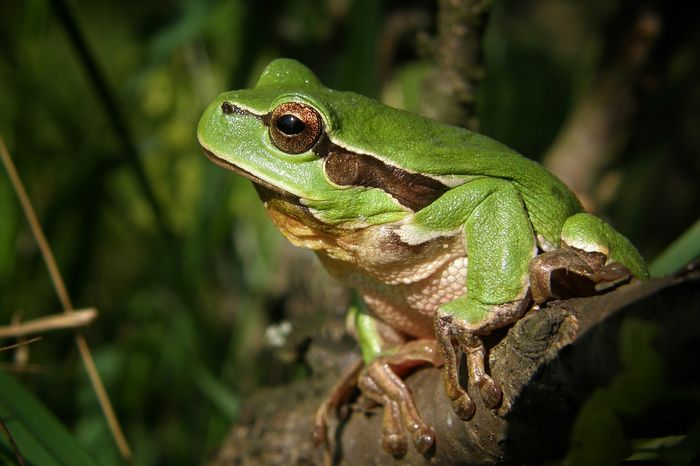 Tree frogs are common in South America's rainforests, but also reside in other parts of the world.