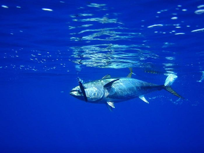 Bluefin tuna take advantage of internal biological hydraulic systems to ensure optimal control and stability while swimming at various speeds.