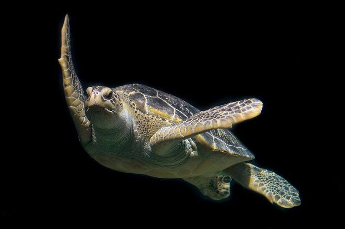 A green sea turtle from Thailand was found to have a clump of metal coins in its stomach.
