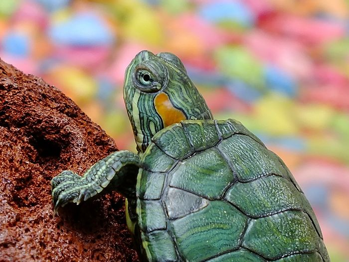 Turtles of all sorts, not just their sea-variants, are particularly important to the environment.