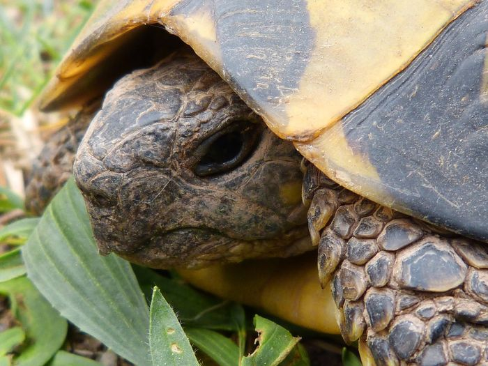 Turtles today hide their heads in their shells for protection, but in ancient times, they might have used this feature as a lunging tactic to nab their prey.