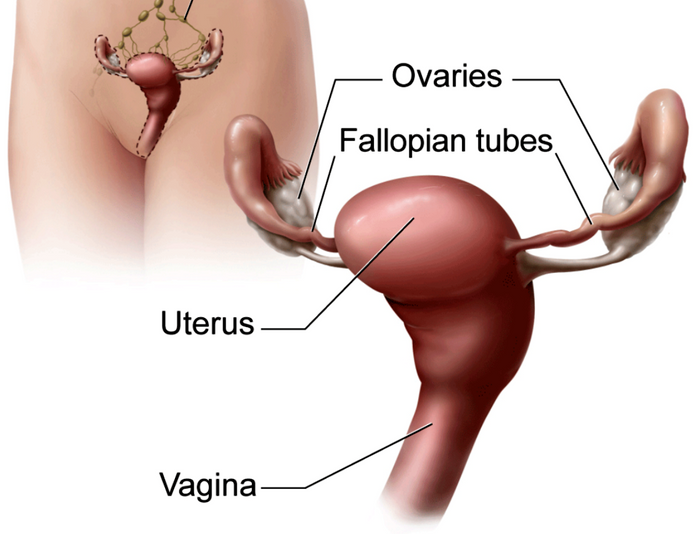 Diagram of uterus, credit: NCI