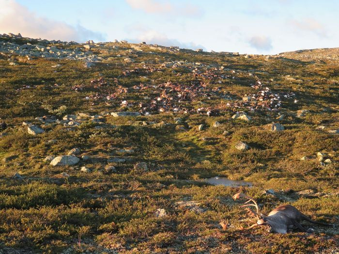 A photograph taken of the 323 deceased reindeer from Norway.