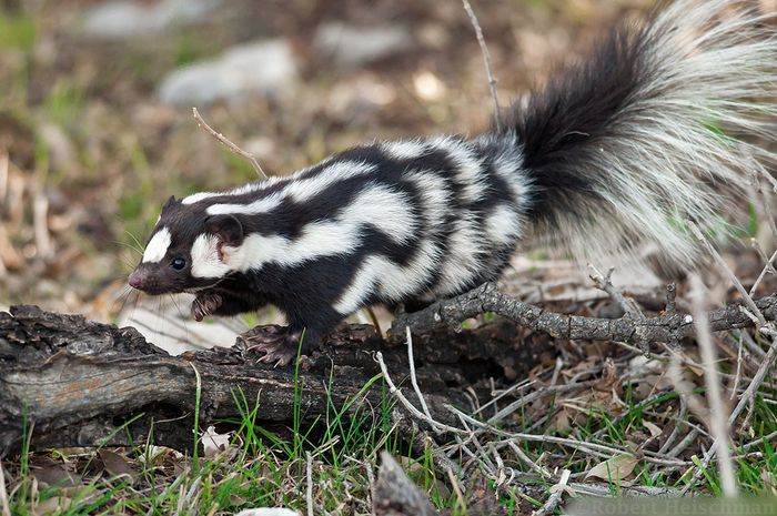 The Western spotted skunk could teach us more about how climate change impacts the evolution of animal species.