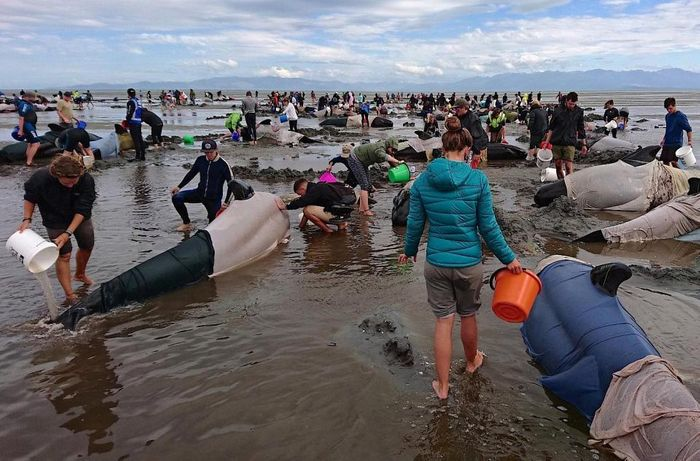 Volunteers attend to some of the hundreds of stranded pilot whales still alive after one of New Zealand's largest recorded mass strandings. Photo: Reuters