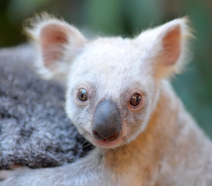 The female white koala joey hitches a ride on her mother's back.