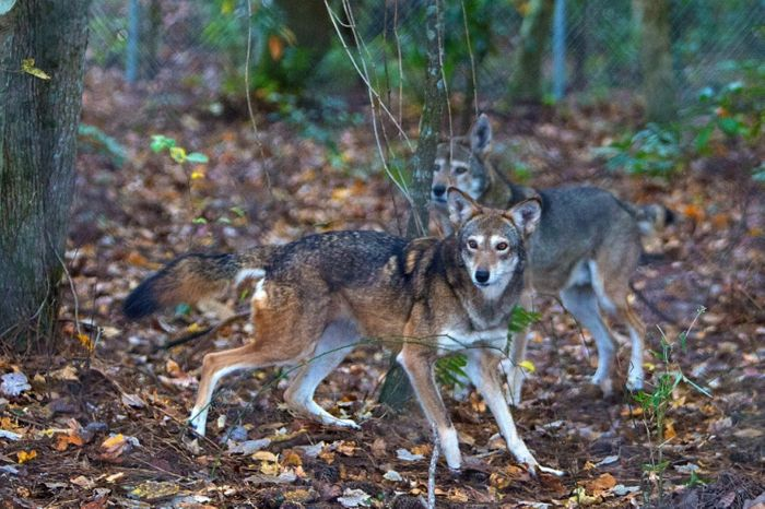 Two captive red wolves frolic behind Pocosin Lakes National Wild Refuge Red Wolf Education and Health Care Facility in North Carolina. (Hyunsoo Leo Kim/Virginian-Pilot via AP)