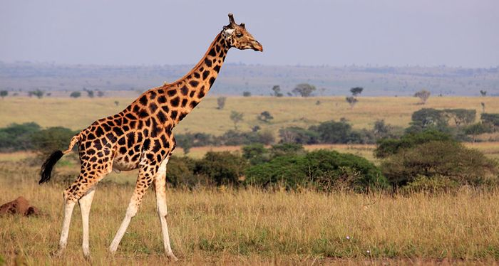 It turns out there are at least four different distinct species of giraffe in the world.