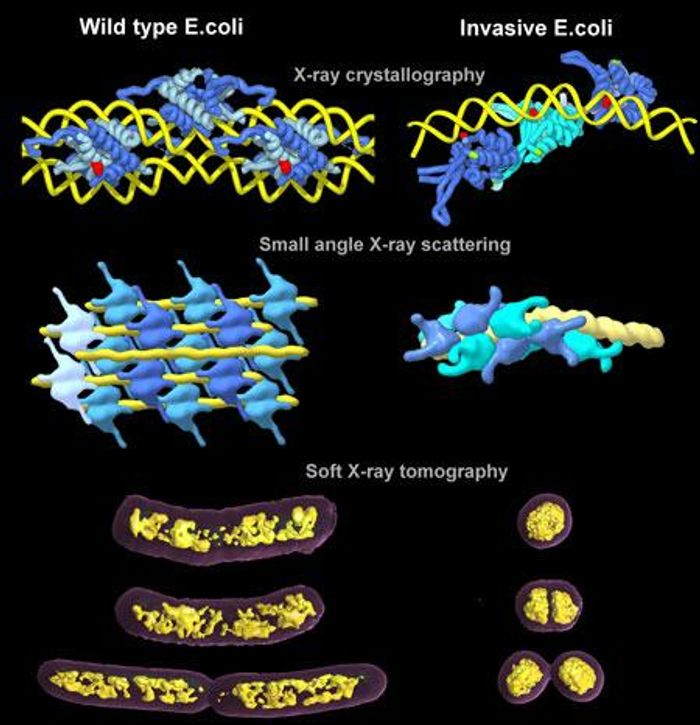 The top two rows show illustrations of crystals and solution structures of bacterial HU proteins with DNA represented by X-ray crystallography and small angle X-ray scattering, respectively. DNA strands are yellow and HU proteins are shades of blue. Soft X-ray tomography was used to visualize bacterial chromatin (in yellow) in wild type and invasive E. coli cells, shown in the bottom row. / Credit: Michal Hammel/Berkeley Lab