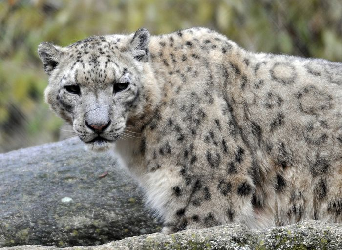 The snow leopard is now a vulnerable species rather than an endangered species.