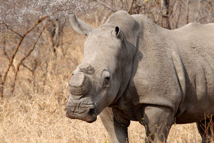 A rhino with no horns after they were removed and harvested.