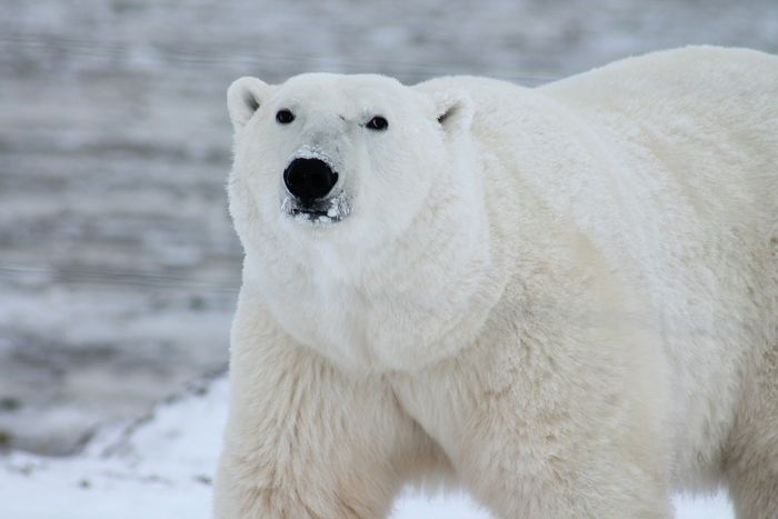 The Arctic's iconic polar bear may be a carnivore, but its prey depend on the nutrients delivered by net primary production.