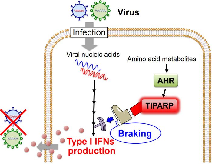 "This image shows the AHR-mediated ""braking"" mechanism for the regulation of the antiviral IFN response. / Credit: Akinori TAKAOKA, Hokkaido University"