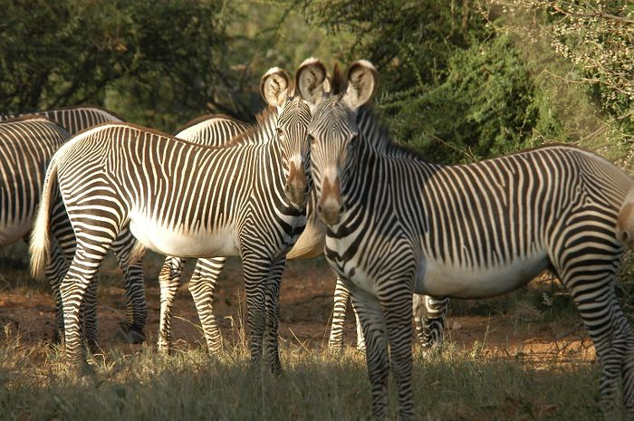 Grevy's zebras at the Mpala Research Centre. Photo by Margaret Kinnaird