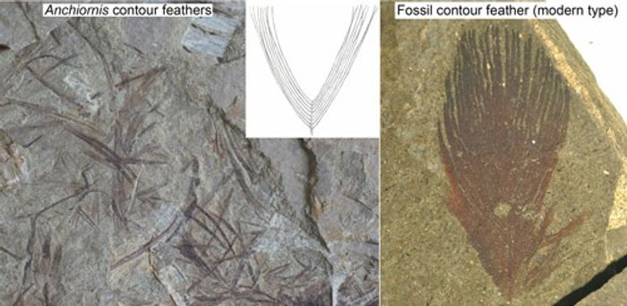 A look at Anchiornis' feather structure compared to a modern feather structure.