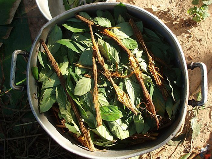 A preparation of ayahuasca, which contains DMT / Credit: Wikimedia Commons Author: Awkipuma