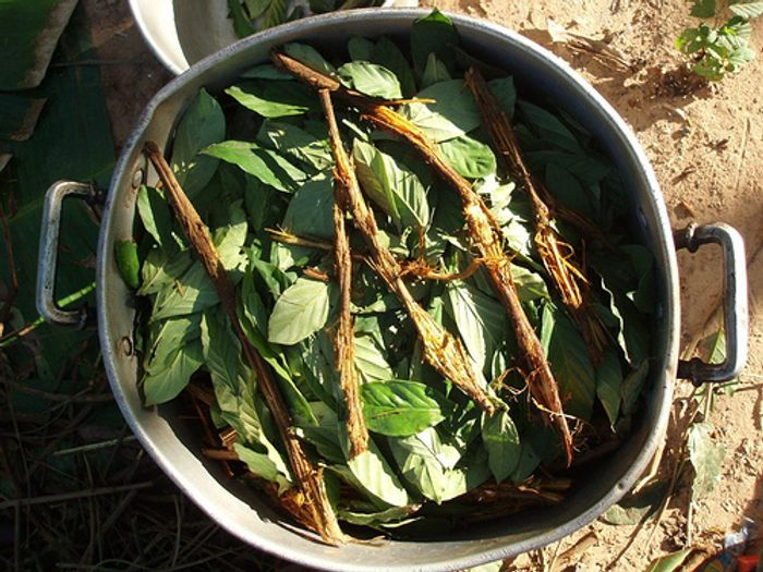 Ayahuasca and chacruna being brewed / Credit Wikimedia Commons/Awkipuma