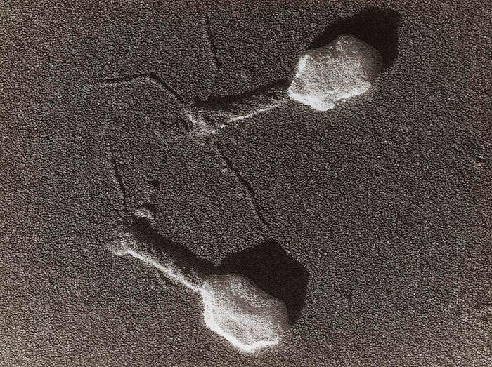 A bacteriophage / Credit: Wikimedia Commons / AFADadcADSasd