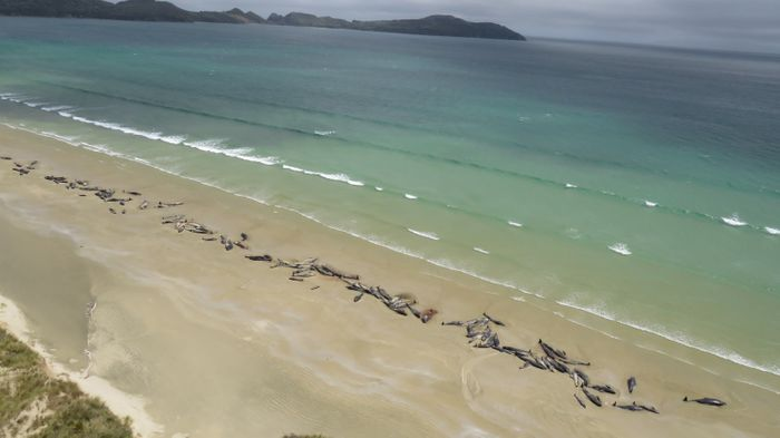 More than 140 pilot whales beached themselves in New Zealand over the weekend.