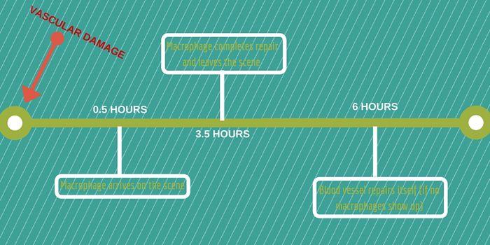 Timeline of Blood Vessel Repair