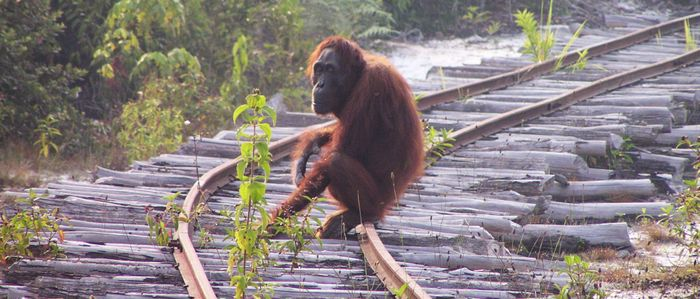 The Bornean orangutan, pictured, is on the decline.