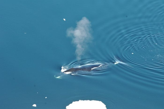 A picture of a bowhead whale surfacing in the ocean.