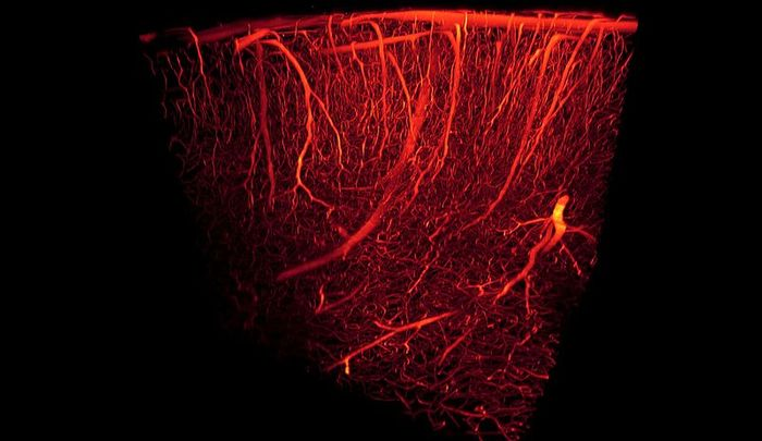 3D rendering of mouse brain cortex. Credit: Antonino Paolo Di Giovanna