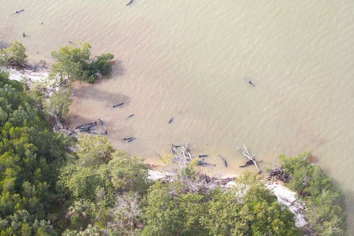 A bird's eye view of dolphins stranding themselves off the coast of Florida.