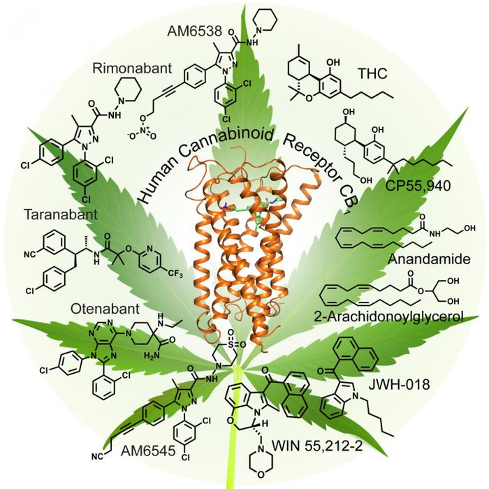 A model of the CB1 receptor shows the structure of the receptor in green, along with the stabilizing molecule AM6538 in the central binding pocket. The researchers used this model to examine how different cannabinoid molecules bind to and activate the receptor. / Credit: Yekaterina Kadyshevskaya, Stevens Laboratory, USC