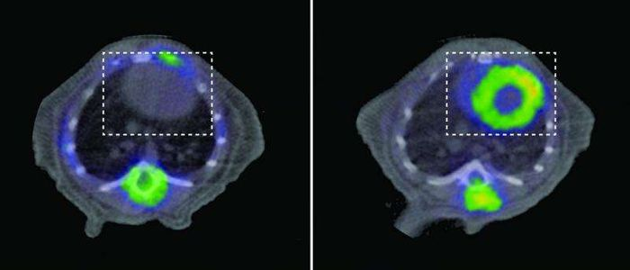 PET scans of a healthy mouse (left) and a mouse with a mitochondrial defect leading to DCM (right)