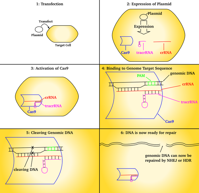 An overview of CRISPR technology, when used to affect cells in culture, from Wikipedia