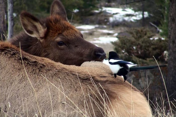 A bold magpie lands on a shy elk in Canada.