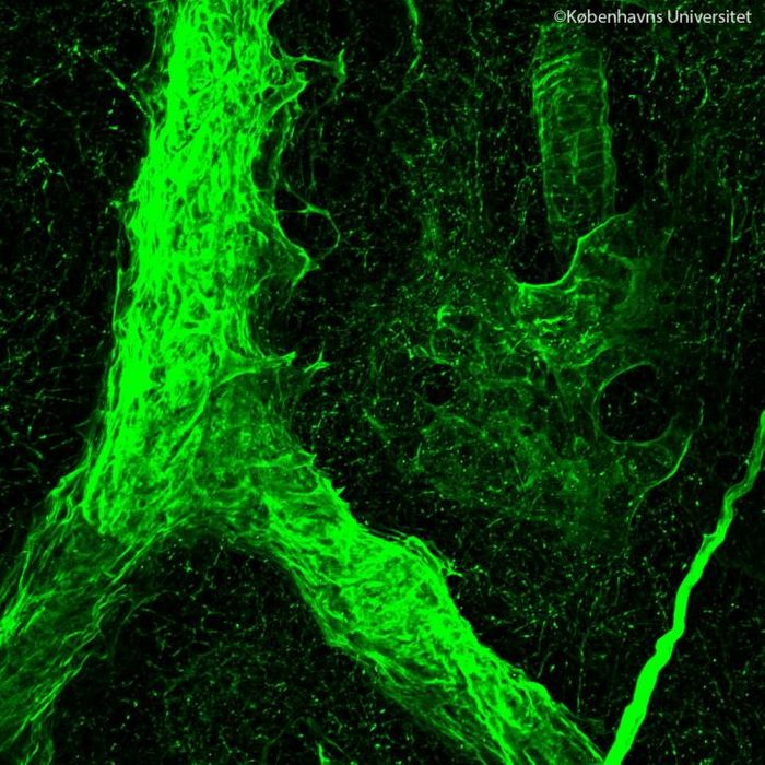 De-cellularized structure of a vessel inside a metastatic lymph node. / Credit: Alejandro Mayorca-Guiliani.