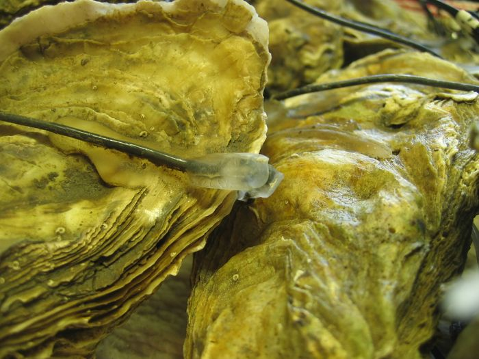 Oysters are equipped with electrodes to monitor their activity around the clock.