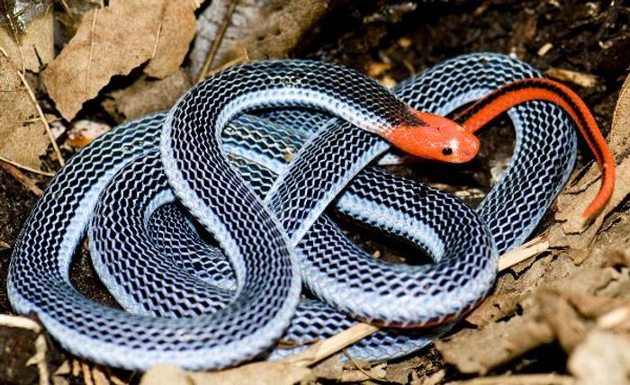 The blue coral snake has strikingly-distinct colors, but its venom will keep you a far distance away.