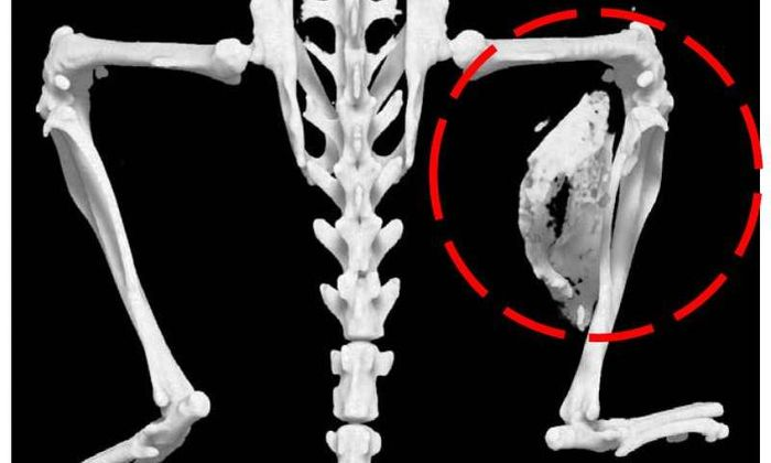 FOP in a mouse model: abnormal bone growth is circled