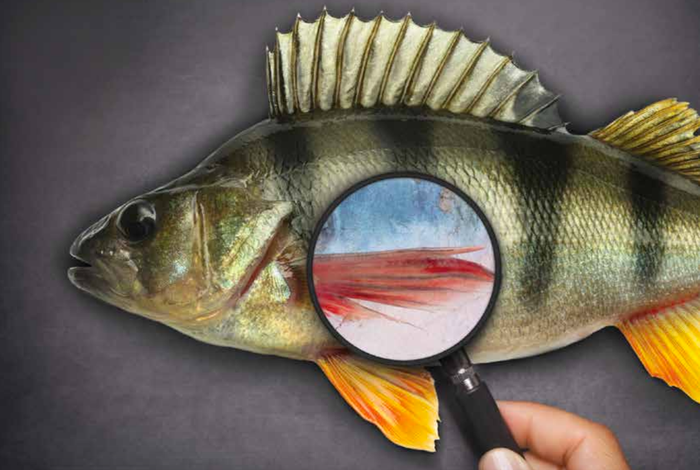 Despite laws that protext endangered fish from being caught and sold, many fish species are mislabeled and slip through the cracks.