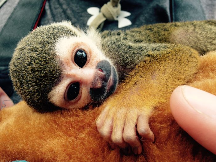 A close up of the Spider monkey, Robbie, only two weeks old here