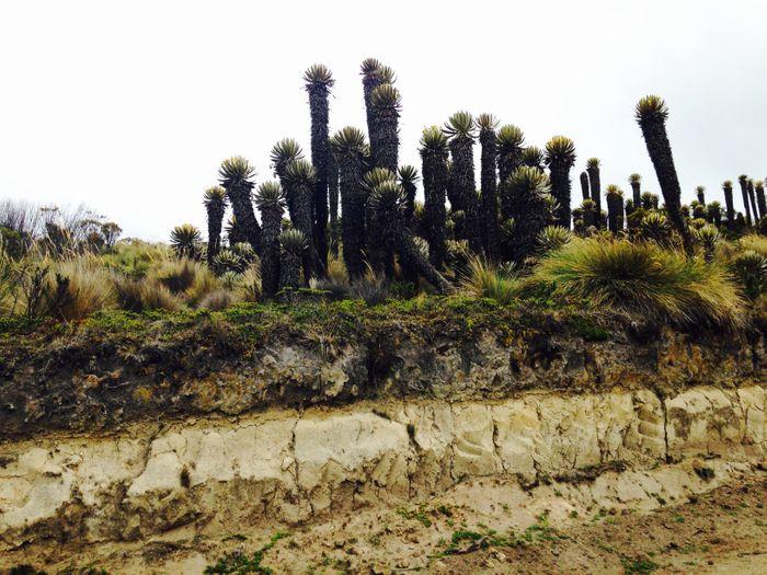 Frailejones in Colombia's Parque Nacional Natural de Los Nevados