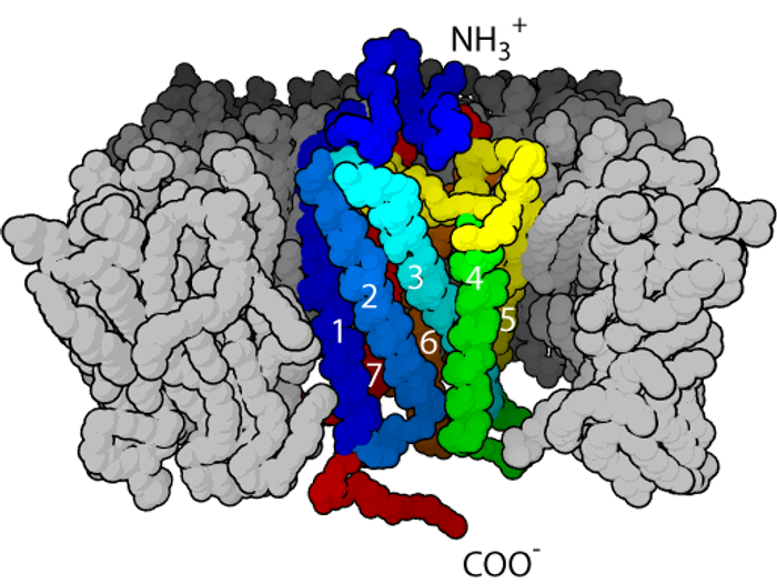 Model of a G-protein-coupled receptor